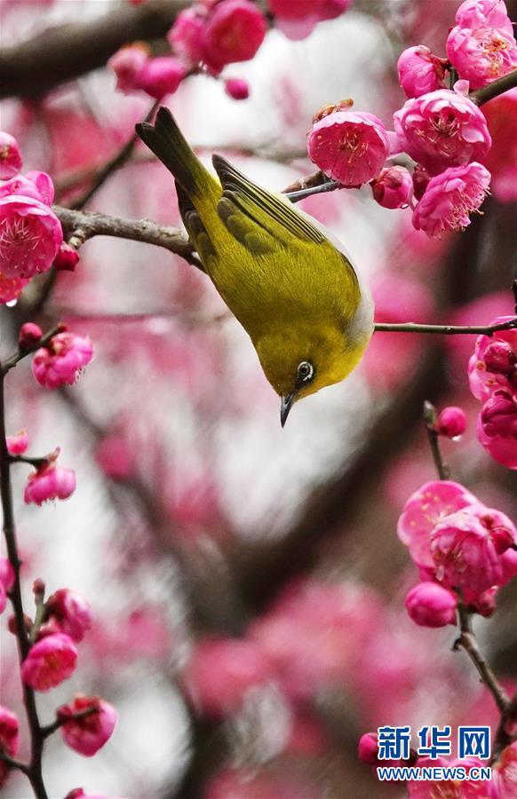 #(环境)(1)梅花开 引鸟来