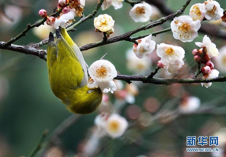 #(环境)(2)梅花开 引鸟来
