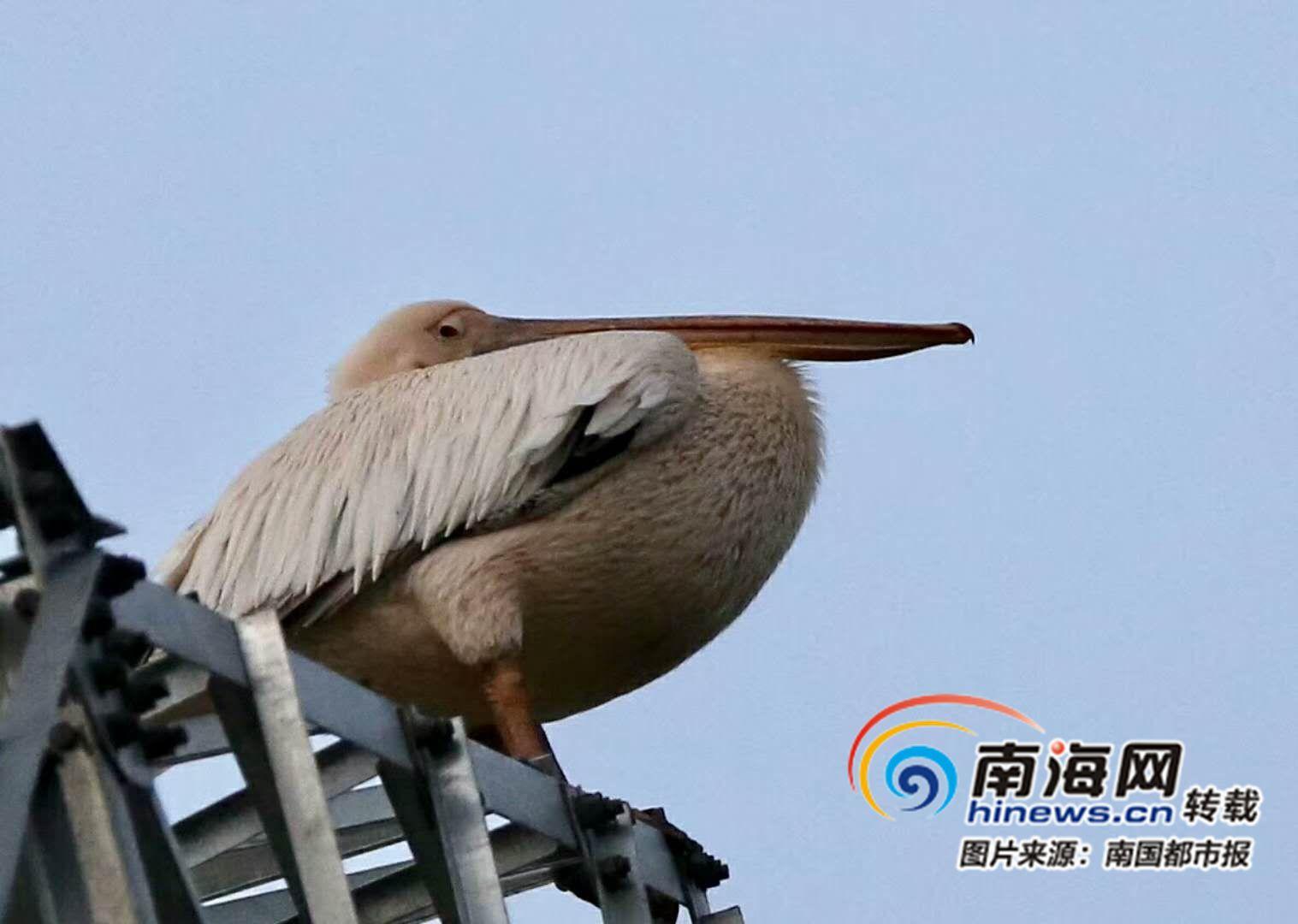 <b>看清脸了!白鹈鹕飞来海口美仁坡村民成立巡逻队跟踪保护</b>