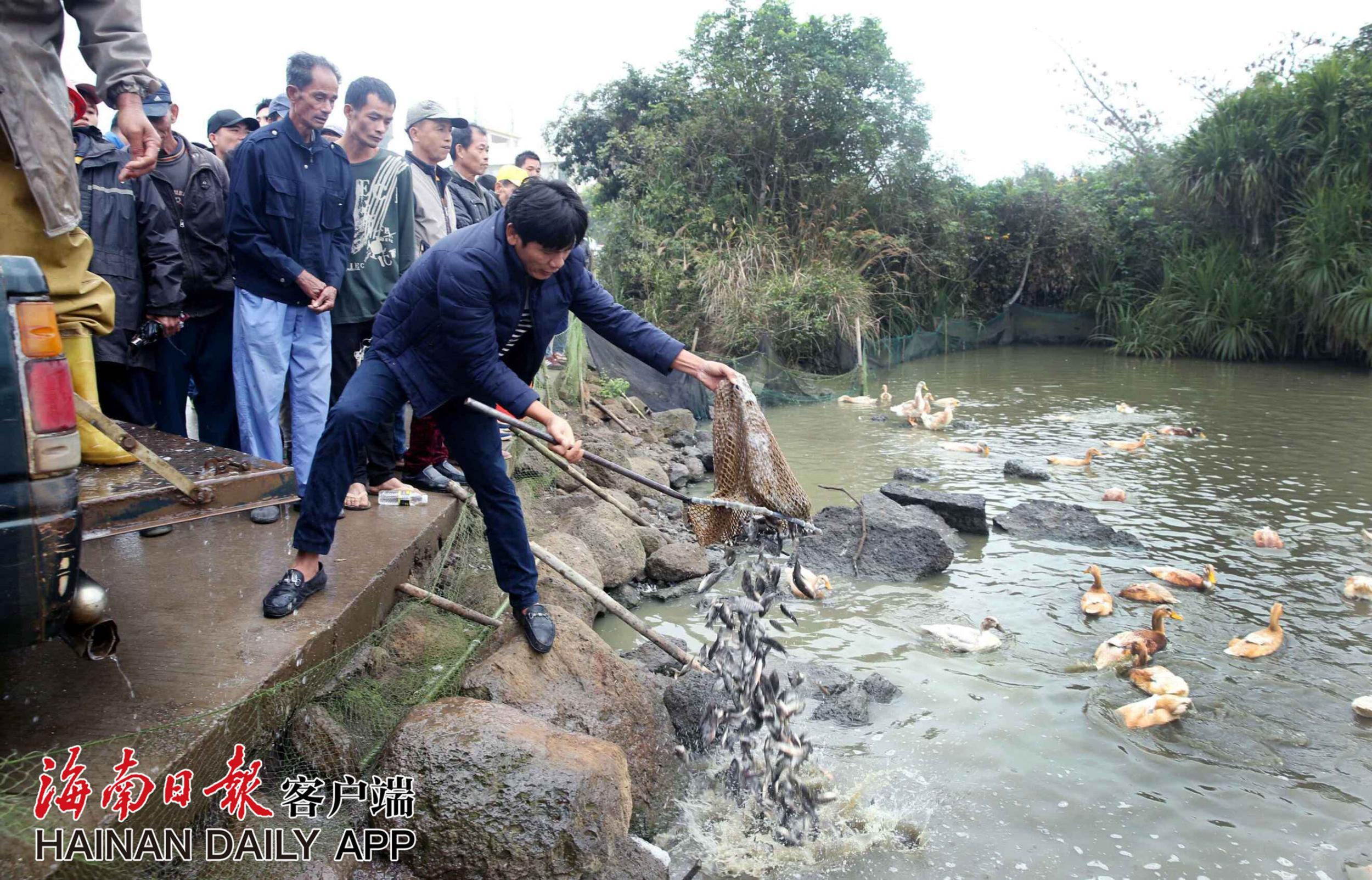 海口美仁坡农民给落户白鹈鹕投放500斤鱼苗