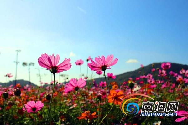 千亩花海盛大绽放春节三亚水稻国家公园推出赏花迎春活动
