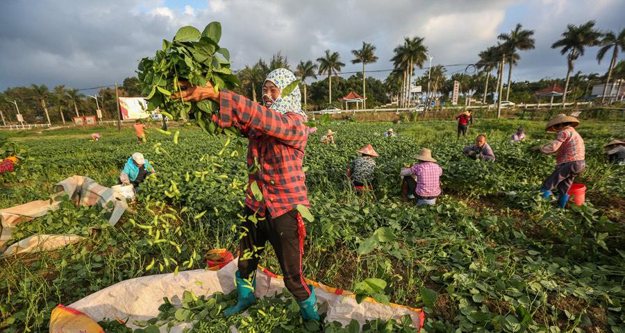 组图丨海口:春节蔬菜抢收忙