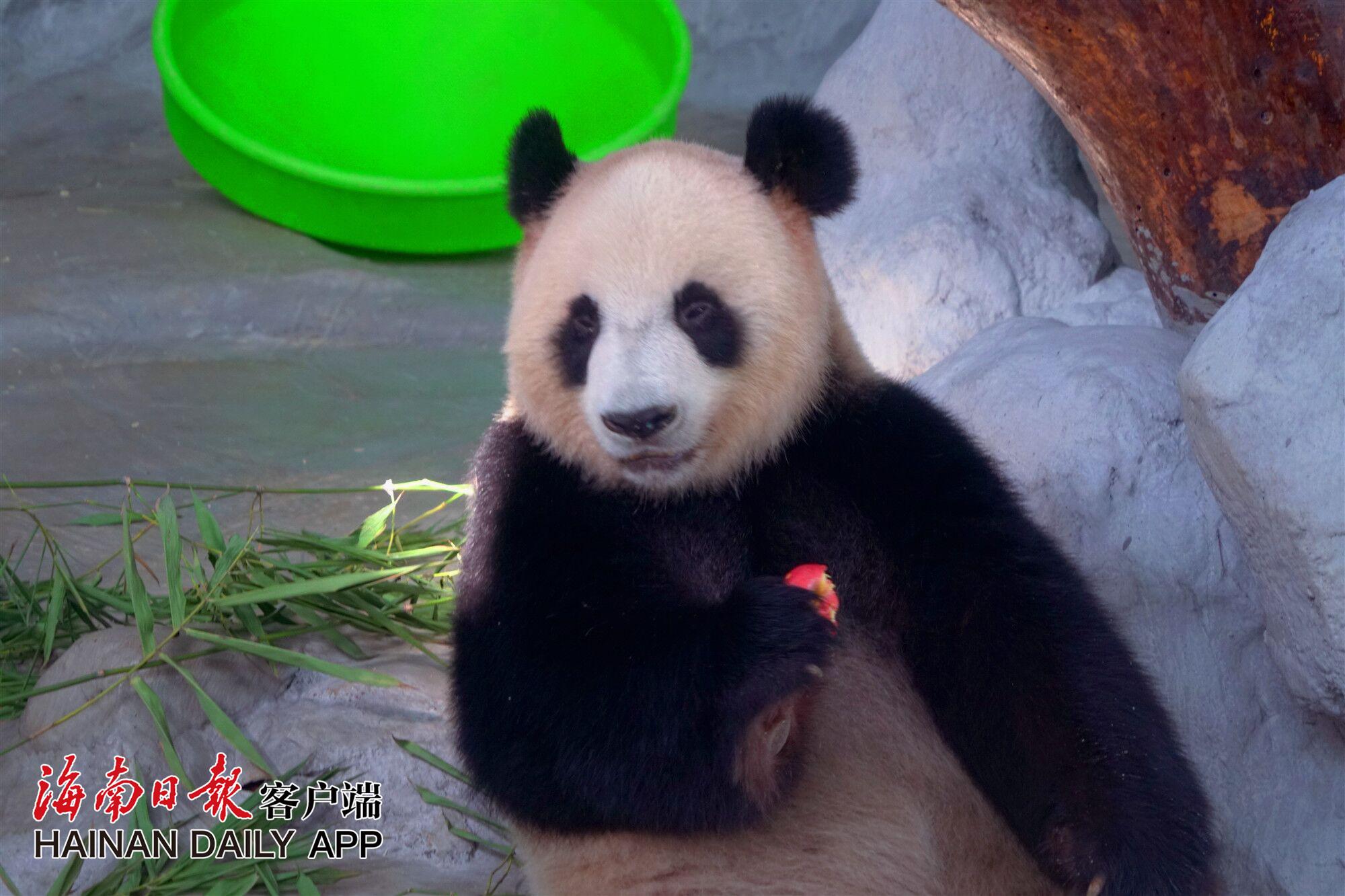 """萌宠熊猫""""吸睛""""海南热带野生动植物园春节游客量同比增3成"""