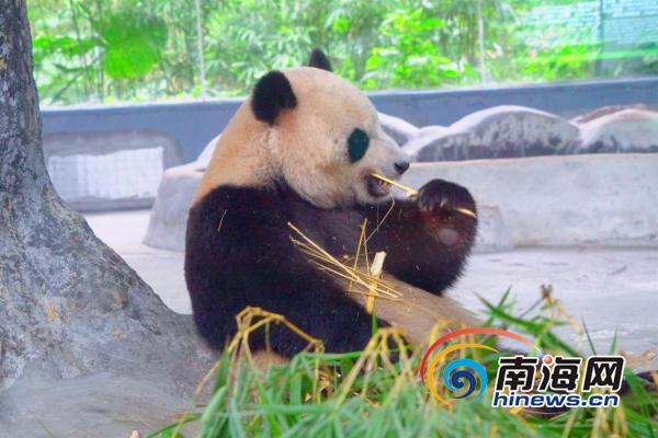 乌克兰游客海口看国宝熊猫体验中国年
