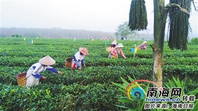 """白沙有机茶产业扶贫见成效 148户贫困户喜领60万元""""压岁钱"""""""