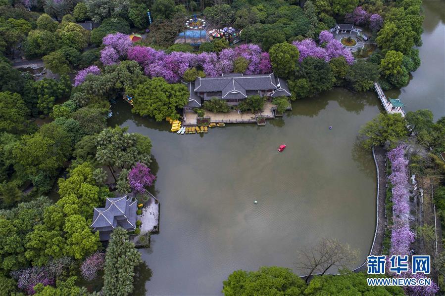 (春季美丽生态)(2)广西柳州:雨后洋紫荆别样美