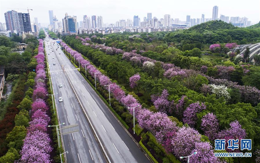 (春季美丽生态)(3)广西柳州:雨后洋紫荆别样美