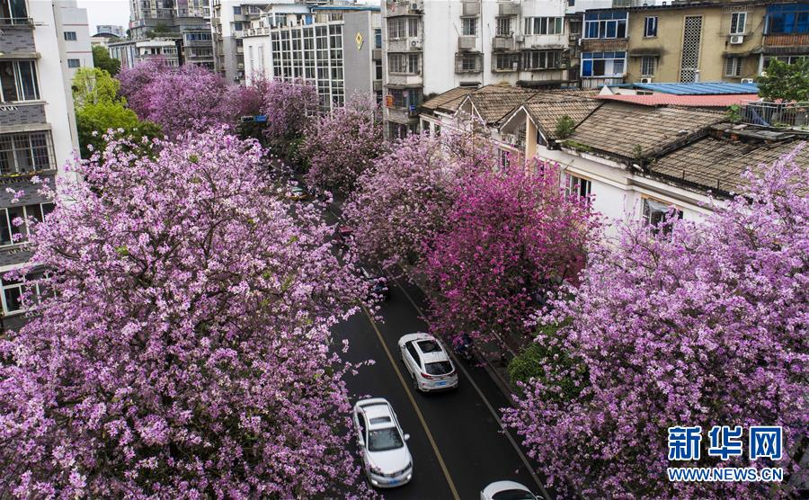 (春季美丽生态)(4)广西柳州:雨后洋紫荆别样美