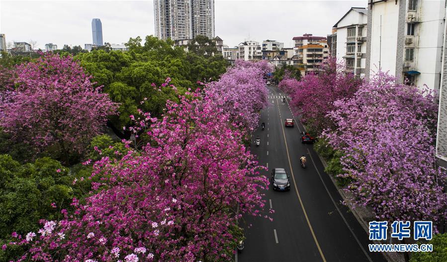(春季美丽生态)(5)广西柳州:雨后洋紫荆别样美