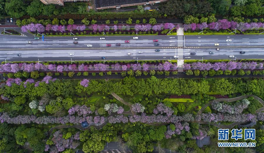 (春季美丽生态)(6)广西柳州:雨后洋紫荆别样美