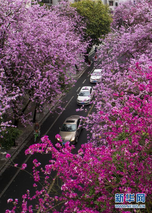 (春季美丽生态)(7)广西柳州:雨后洋紫荆别样美