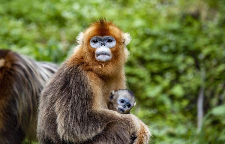 """2018年8月20日在南京红山森林动物园拍摄的考拉""""茉莉""""(左)和考拉"""