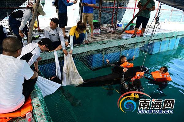 世界海洋日   三亚领航鲸救援进行时:80多位潜水志愿者报名 治疗仍在继续