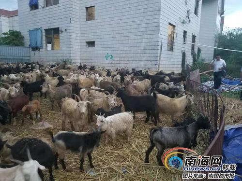起底海口走私羊地下黑市 所售羊无检疫证明 客户遍布全省
