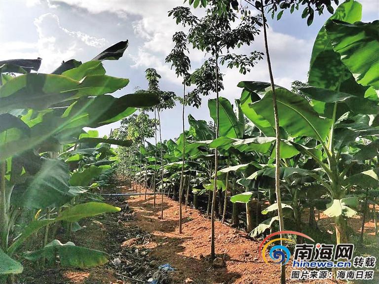 海南橡胶龙江分公司发展林下经济实现利润1000多万元