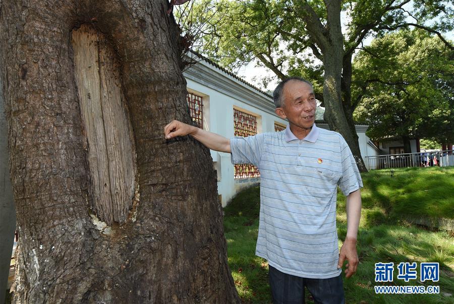 """(壮丽70年·奋斗新时代——记者再走长征路·图文互动)(2)""""红军树""""下忆初心、守初心"""