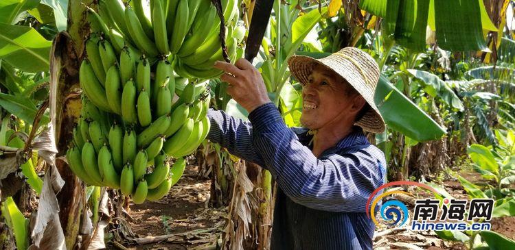 志智双扶丨海口秀英区脱贫户王受能: 种植香蕉脱贫致富