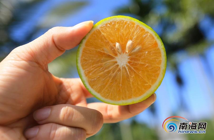 琼中绿橙10月26日将正式上市 别再被路边的冒牌货骗了