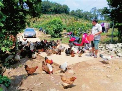 三亚那炳村大山深处有个助村民致富的养鸡场