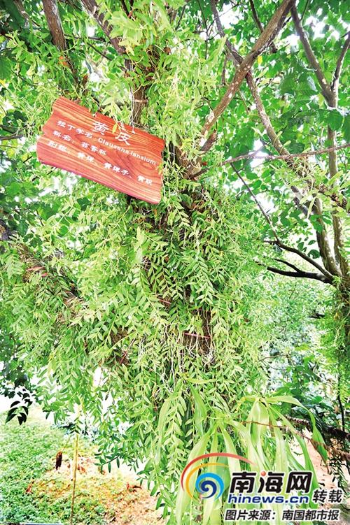 海南林下生态扶贫样本:槟榔树下种咖啡、牧草 树上还能种石斛