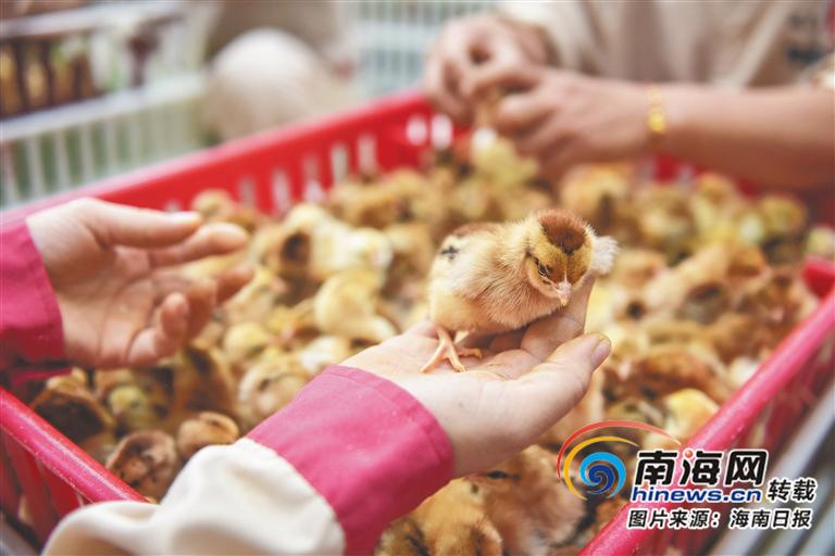 """潭牛文昌鸡公司拓展文昌鸡产业链 助力文昌打造""""千亿级""""产业"""