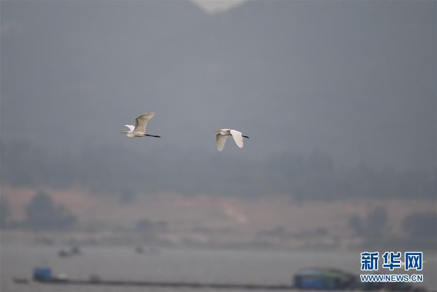 (新华视界)(1)海南陵水:红树林里的白鹭