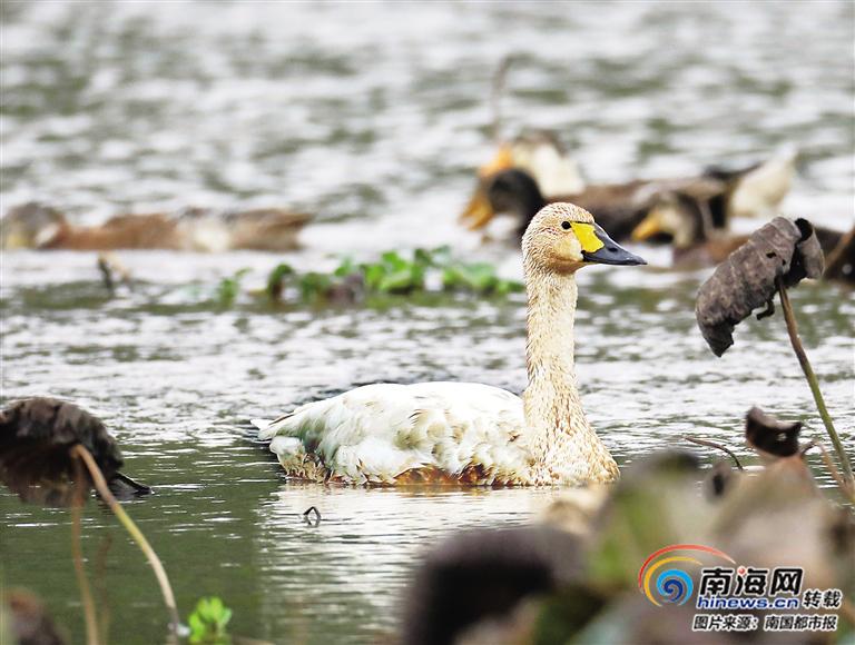 来稀客了!海口五源河首次发现国家二级保护动物小天鹅