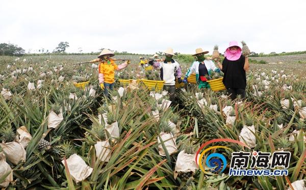 海垦东昌农场公司凤梨迎来首个采摘日