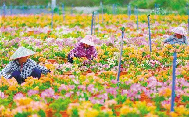 定安三角梅花卉产业基地:姹紫嫣红富花农
