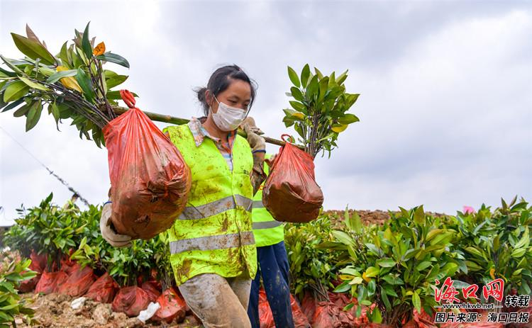 东寨港湿地生态修复项目全面开种红树