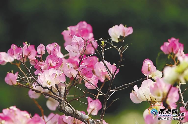 海南周刊 | 一树繁花三角梅