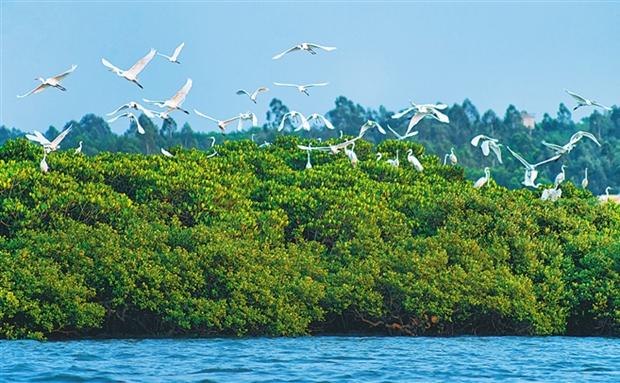 临高:生态修复 白鹭飞舞
