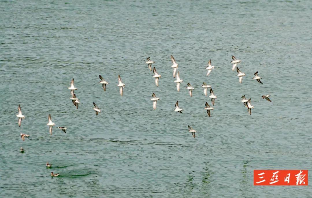 """三亚河飞来一群""""小鸭子"""",原来它们是""""魔力转圈圈鸟""""呀-三亚新闻网-南海网"""