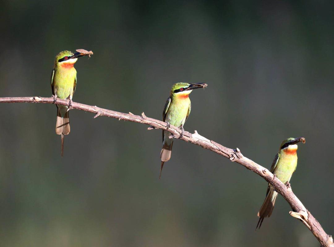 """海口""""最美小鸟""""栗喉蜂虎被央视发现啦!你认识它们吗?"""