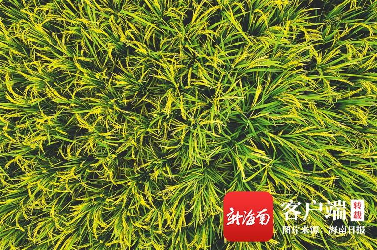 海南周刊 | 万宁小海生态美 稻香伴骑行