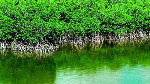 """助力三亚红树林生态环境保护 这群志愿者成为红树林的""""防护林"""""""