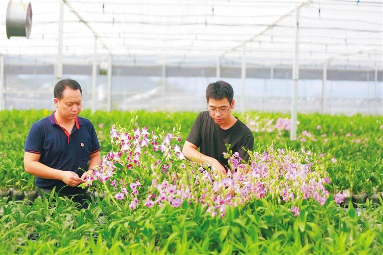 188体育平台,188体育在线:板桥镇:扶贫兰花朵朵开