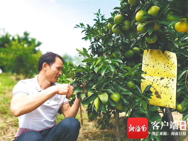 政策扶一把,自己拼一把 成就琼中绿橙种植能手——王朝参