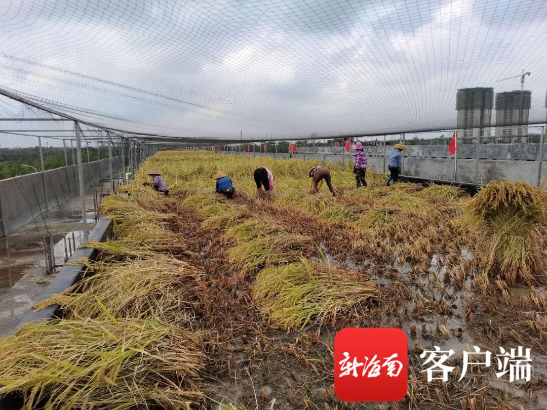 """抖音成人版 海口""""空中农场"""":楼顶晚季水稻全部收割完"""