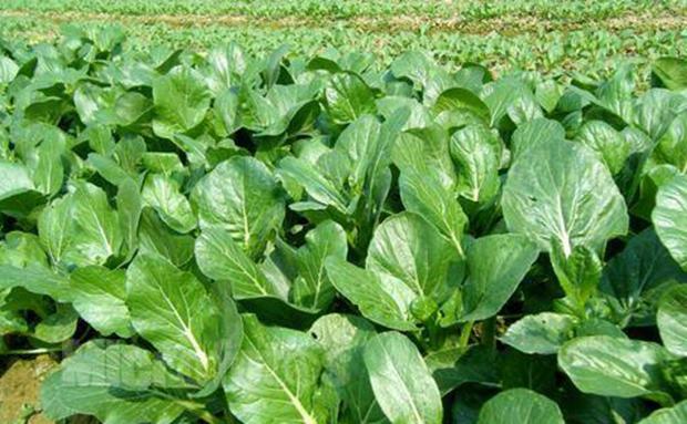 今冬明春万宁力争瓜菜种植面积达到19.2万亩