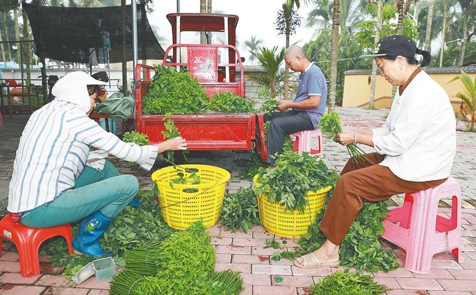 走向我们的小康生活   五指山市南圣镇同甲村村民摘野菜促增收