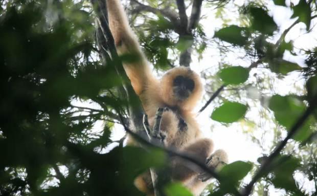爬山越岭一路追寻,只为遇见海南长臂猿