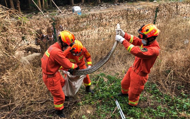 2米多长蟒蛇爬进香蕉林 三亚消防提醒切勿擅自驱赶捕捉