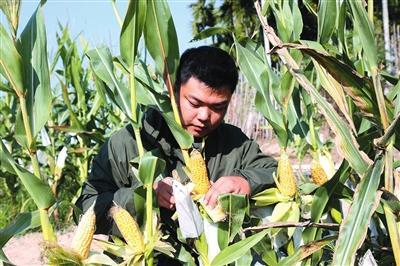 """强劲""""中国芯"""" 育种世界粮 巴西玉米在三亚植入中国基因"""