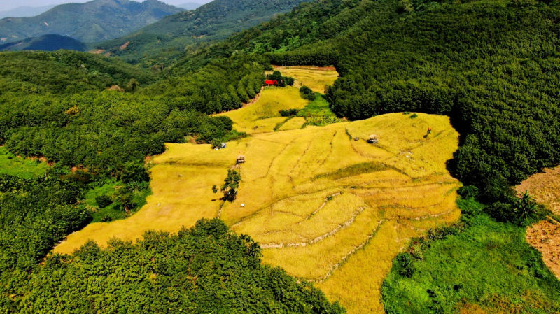 青松山兰稻(吴峰 摄)