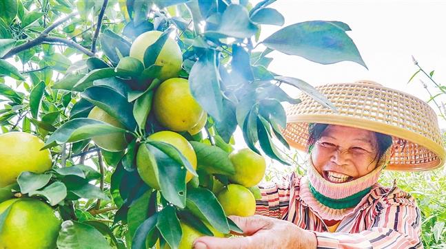 澄迈福橙上市 今年行情乐观