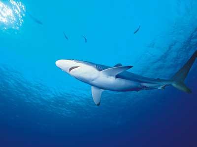 鲨鱼 海洋 鲨鱼 鲨鱼专辑 海洋动物 动物世界
