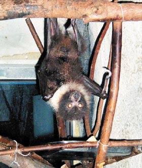 台湾狐蝠是濒临绝种动物,去年底在绿岛再度被发现踪迹.