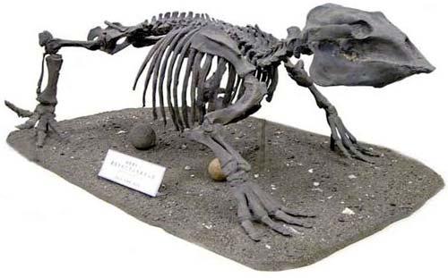 据介绍,索齿兽是已经灭绝的海生哺乳动物,大小如河马,骨骼化石特征与