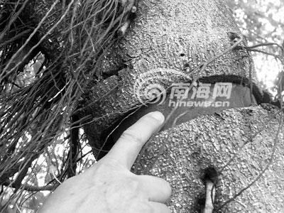 铁环已深入树体 张洁 摄